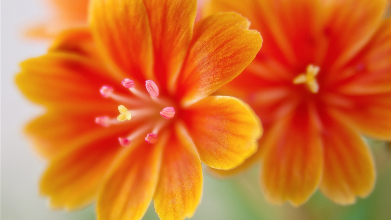 yellow_lewisia_flowers-High_Quality_HD_Wallpaper