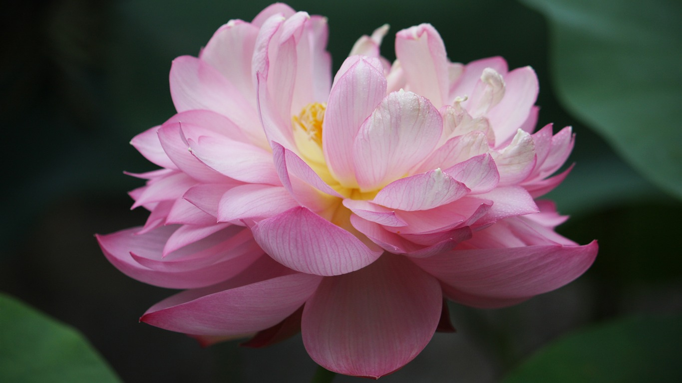 Blooming_Pink_Lotus_Photo_Desktop_Wallpaper_08