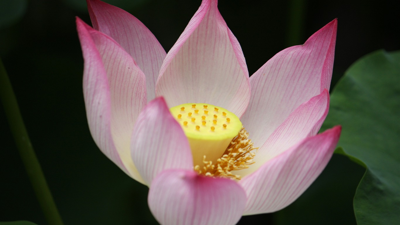 Blooming_Pink_Lotus_Photo_Desktop_Wallpaper_10