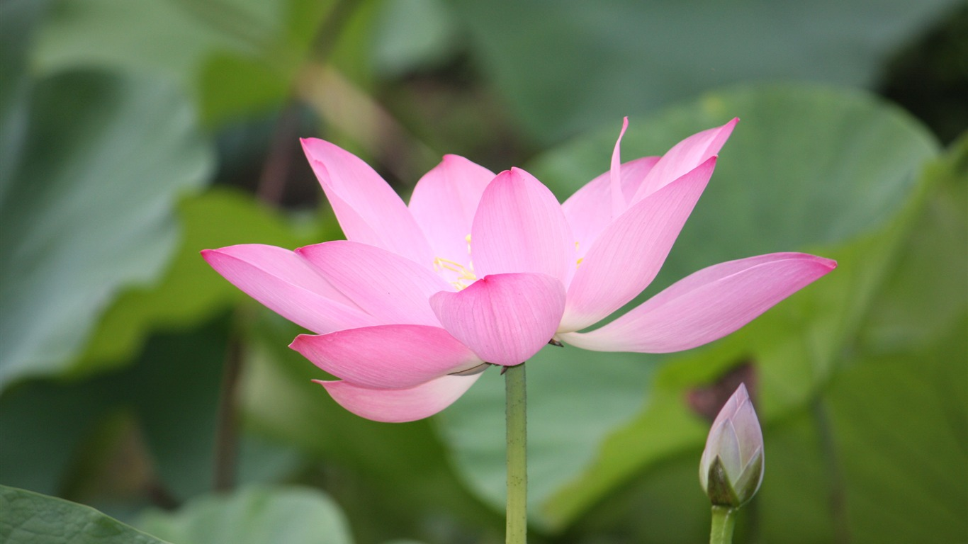 Blooming_Pink_Lotus_Photo_Desktop_Wallpaper_13