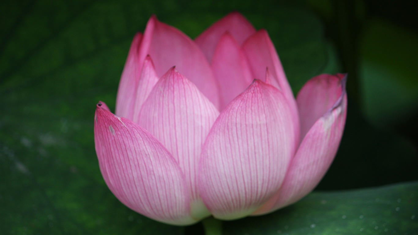 Blooming_Pink_Lotus_Photo_Desktop_Wallpaper_14
