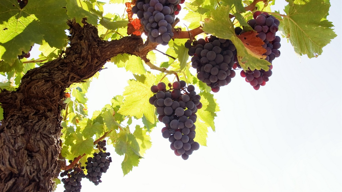 Fruit_grapes_harvest_season_theme_wallpaper_10