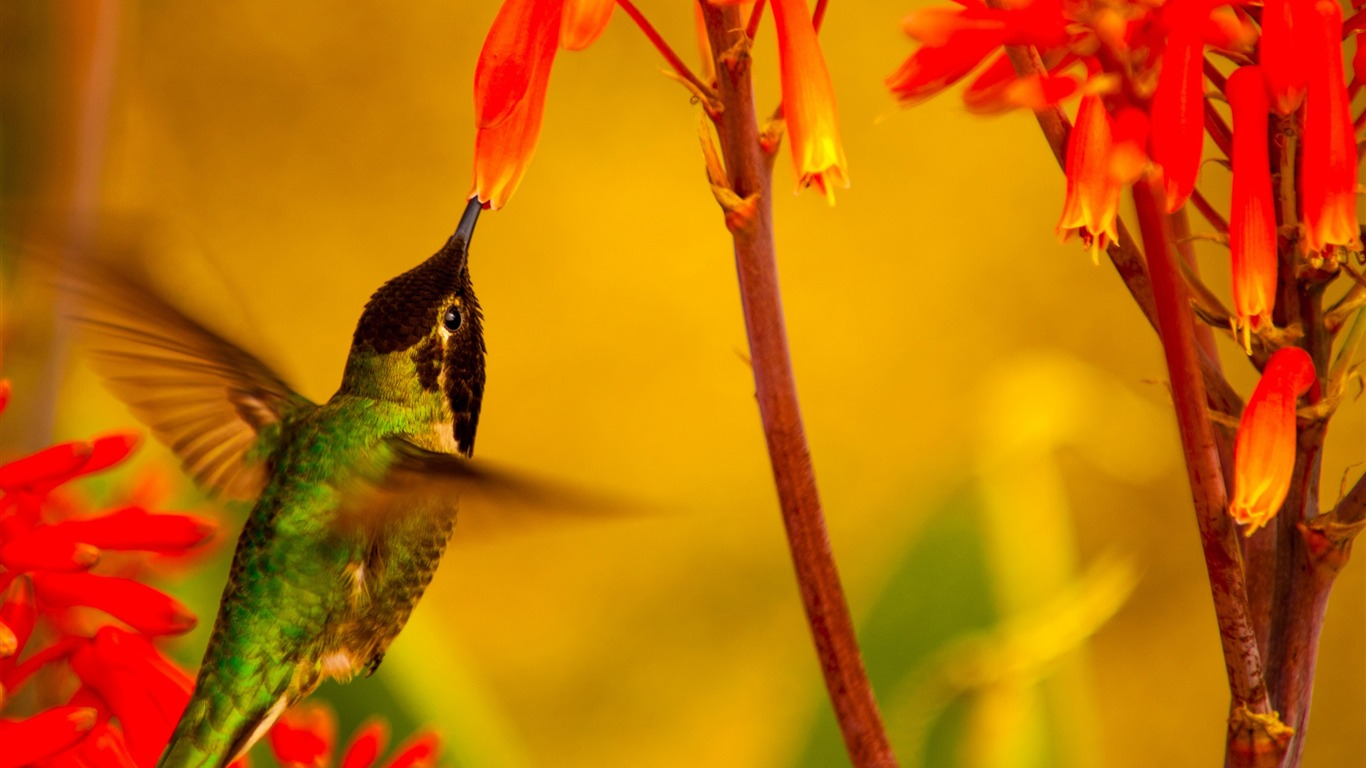 Hummingbird_green_back-Spring_Bird_Photo_Wallpaper