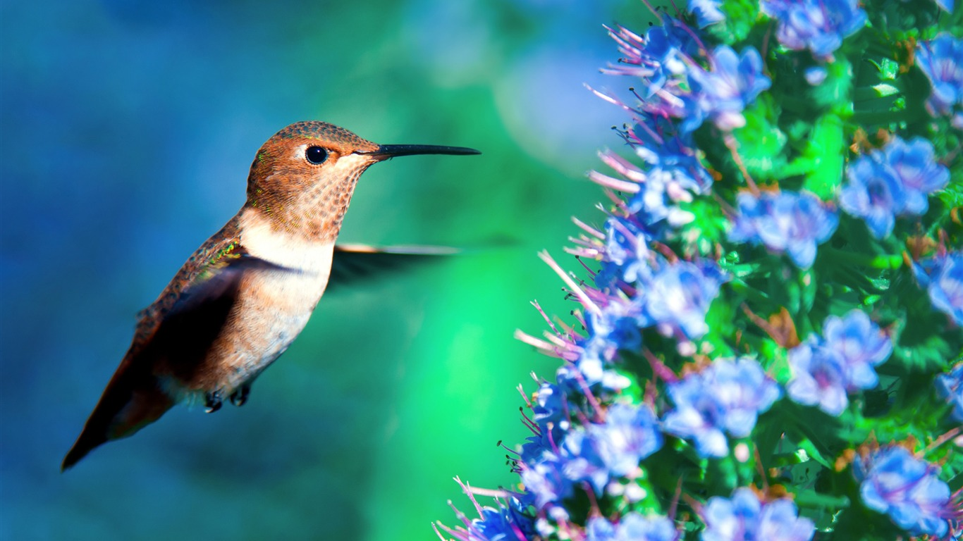 Hummingbird_in_flight-Spring_Bird_Photo_Wallpaper