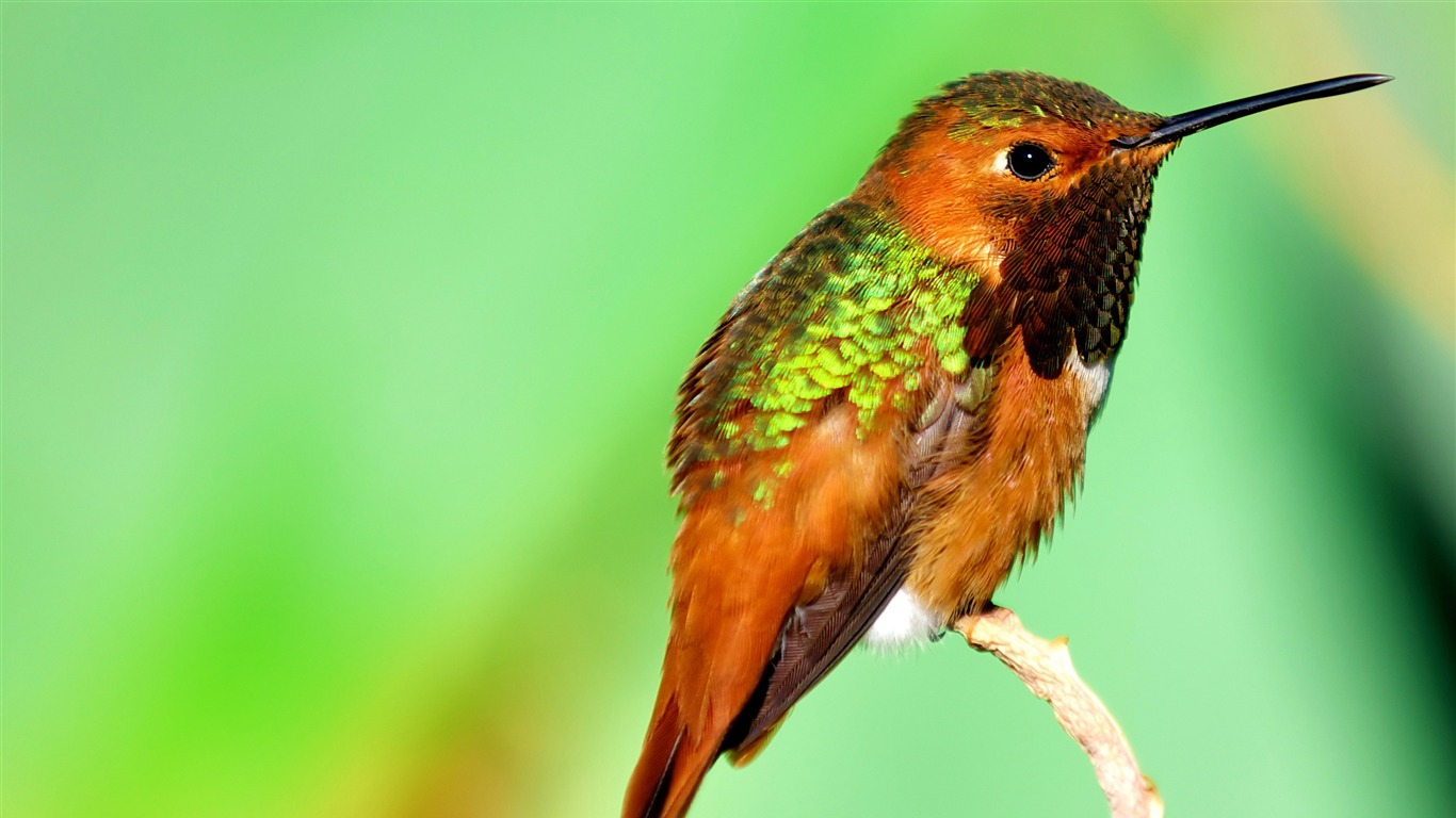 Hummingbird_iridescent_feathers-Spring_Bird_Photo_Wallpaper