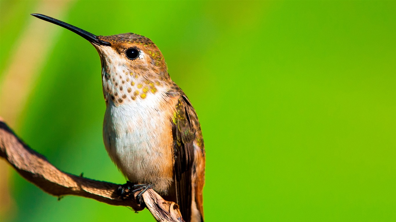 Hummingbird_macro-Spring_Bird_Photo_Wallpaper