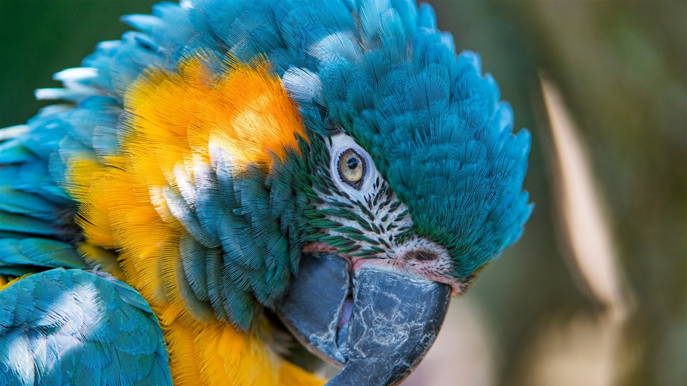 Blue_and_yellow_macaw-High_Quality_Wallpaper