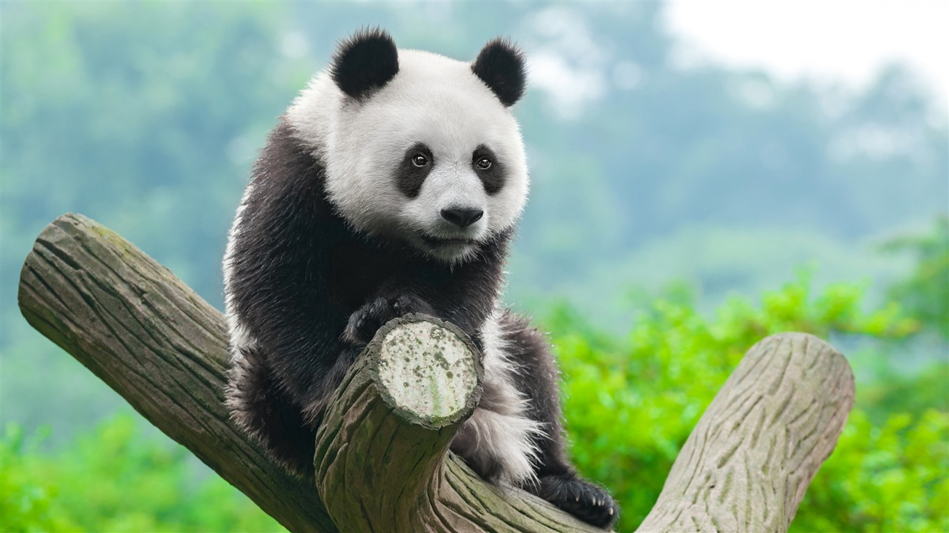 Cute_China_Panda-2017_Animal_HD_Wallpaper