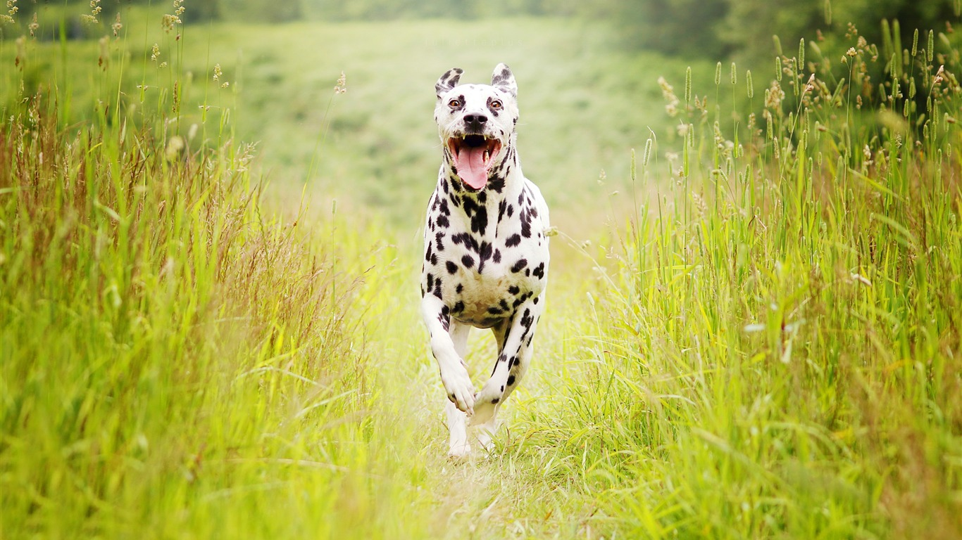 Dalmatian_breed_dog-2017_Animal_Wallpaper