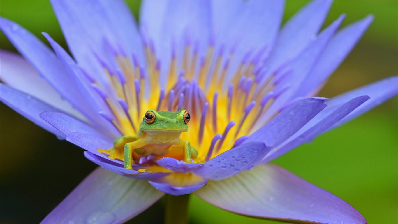 Frog_lotus_amphibian-2017_Animal_Wallpaper
