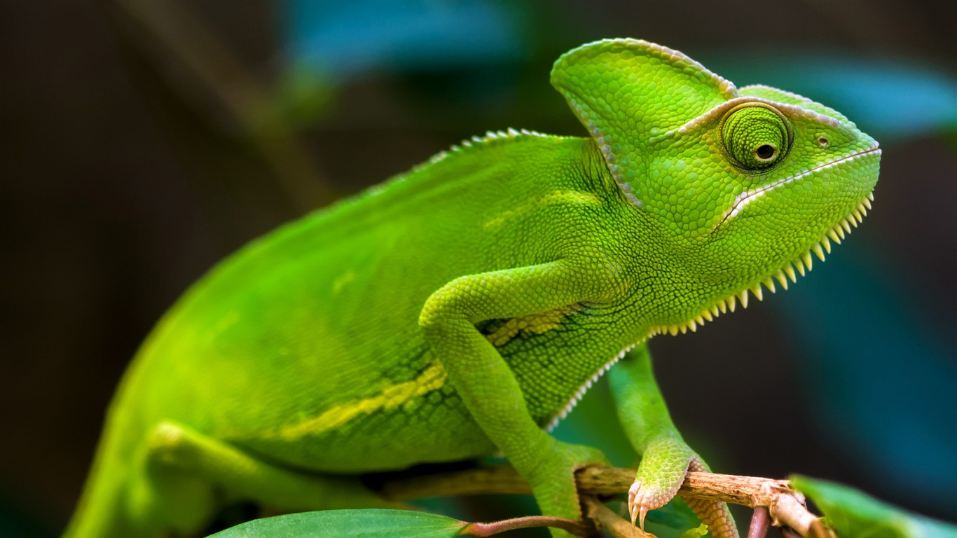 Green_Chameleon-2017_Animal_Wallpaper