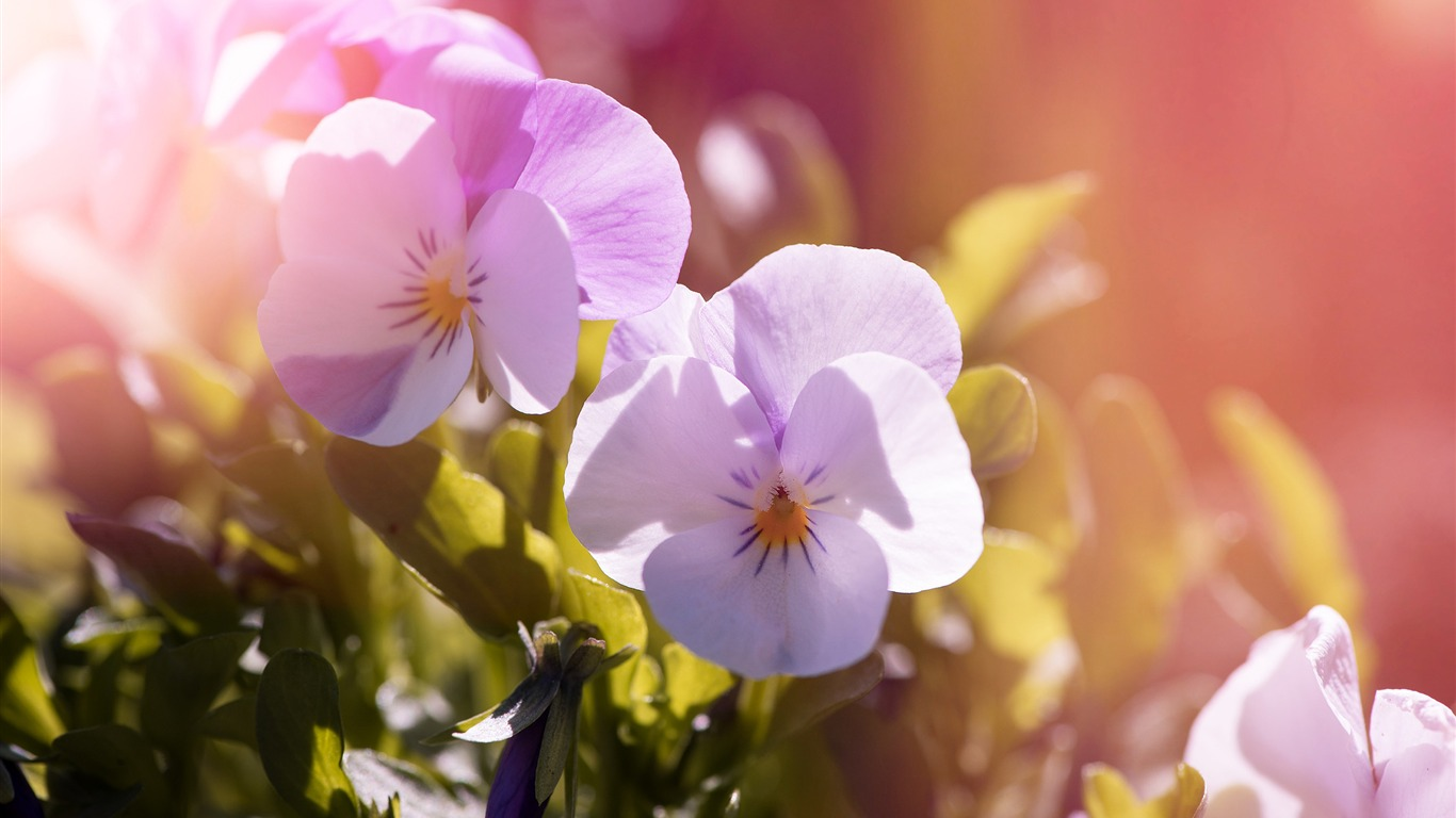 Pansy_flowers_garden_Photo_HD_Wallpaper