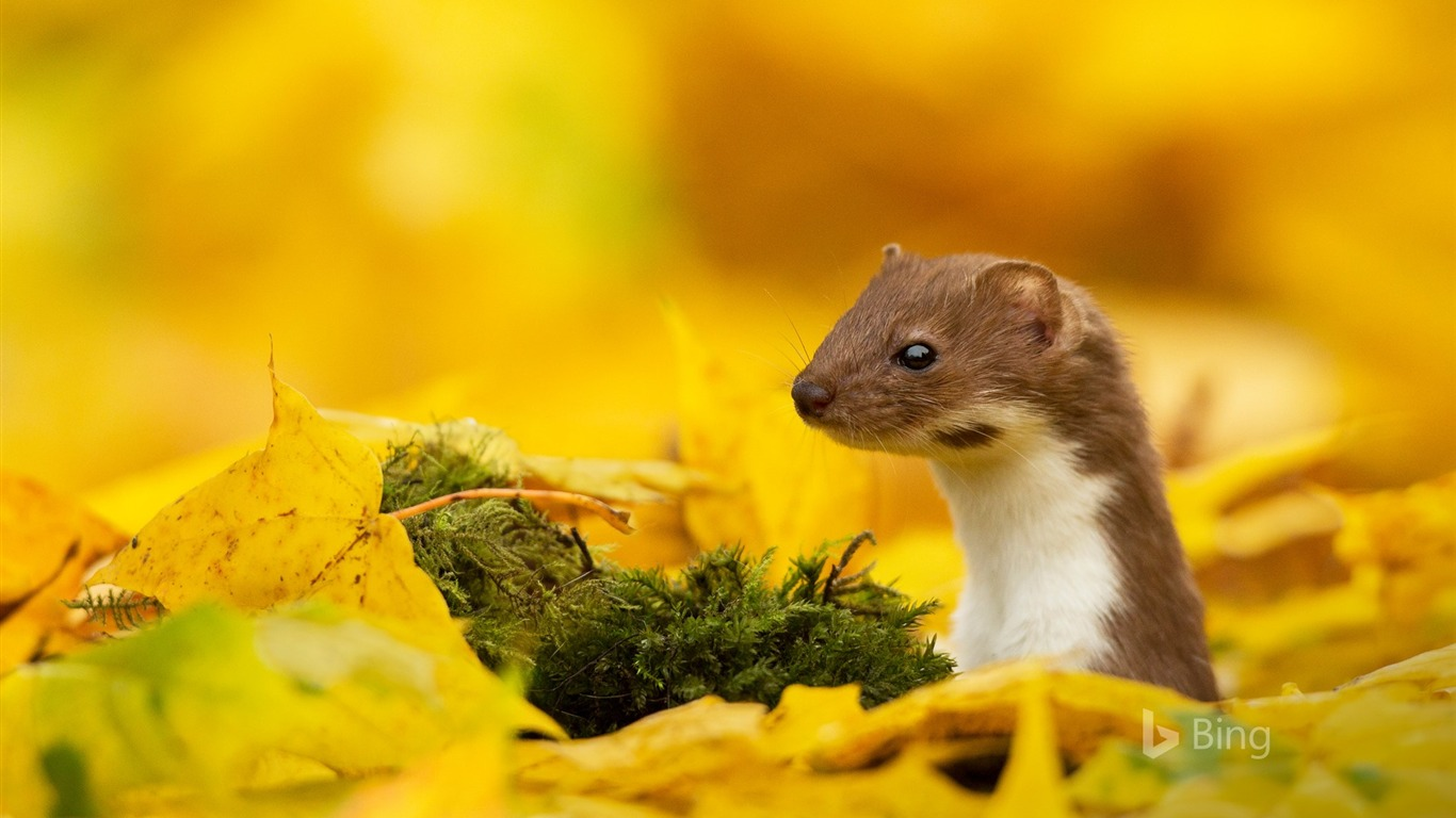 A_mouse_yellow_leaf_in_autumn_2017_Bing_Wallpaper
