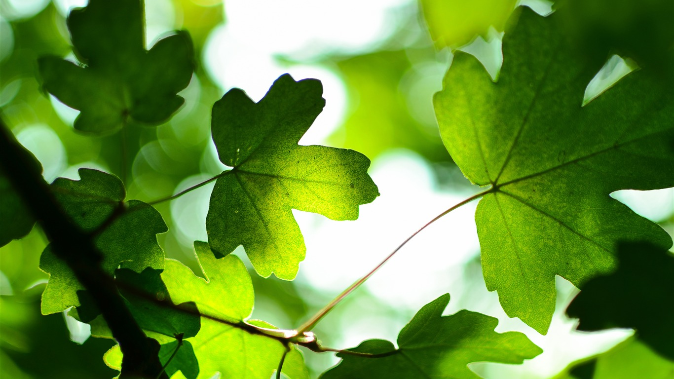 Spring_green_maple_leaves_sunlight