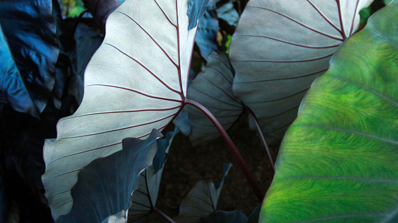 Nature_green_lotus_leaves_closeup