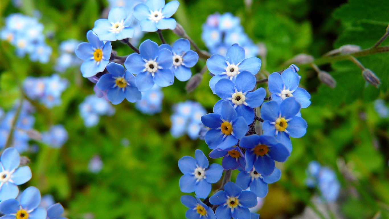 Outdoor_blue_wildflowers_plants_closeup