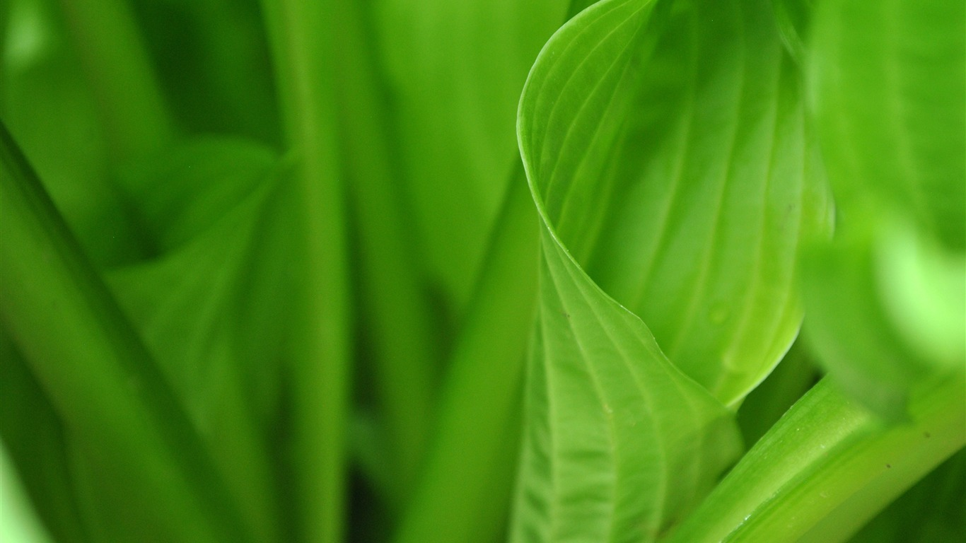 Spring_curly_green_plant_leaf_close-up