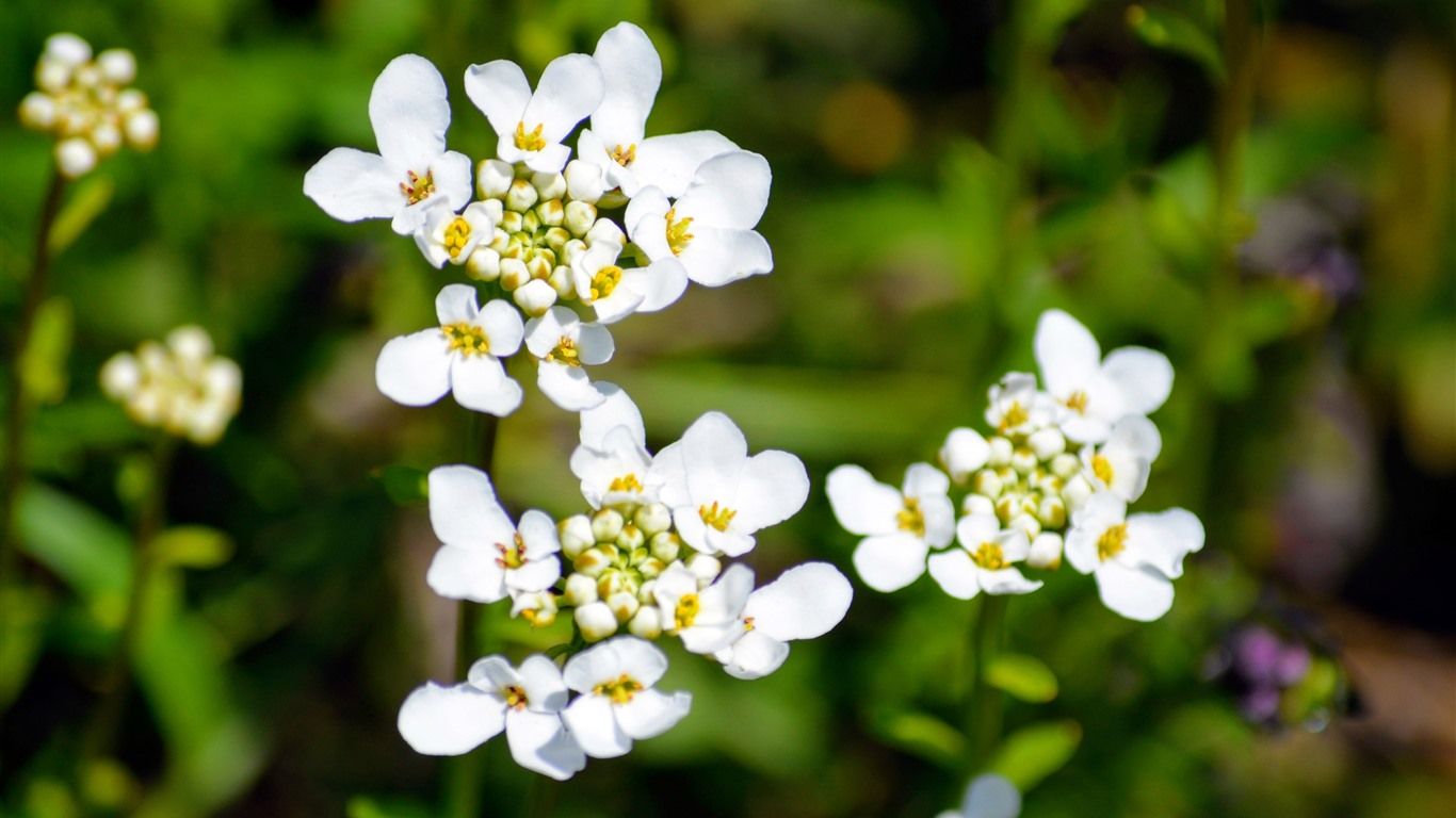 White_Bloom_Cluster_2021_Spring_Flower_HD_Photo2021.2.20