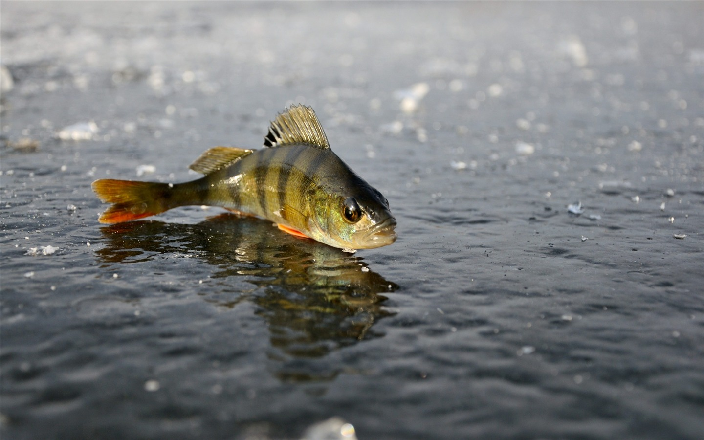 Perch ice fishing winter animal photo desktop wallpaper for Ice fishing for perch