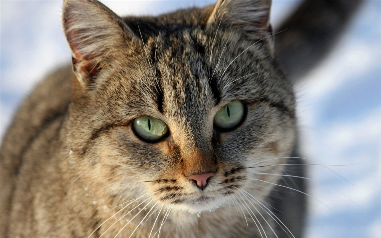 描述: 条纹的猫眼睛-动物写真壁纸 当前壁纸尺寸: 1440 x 900图片