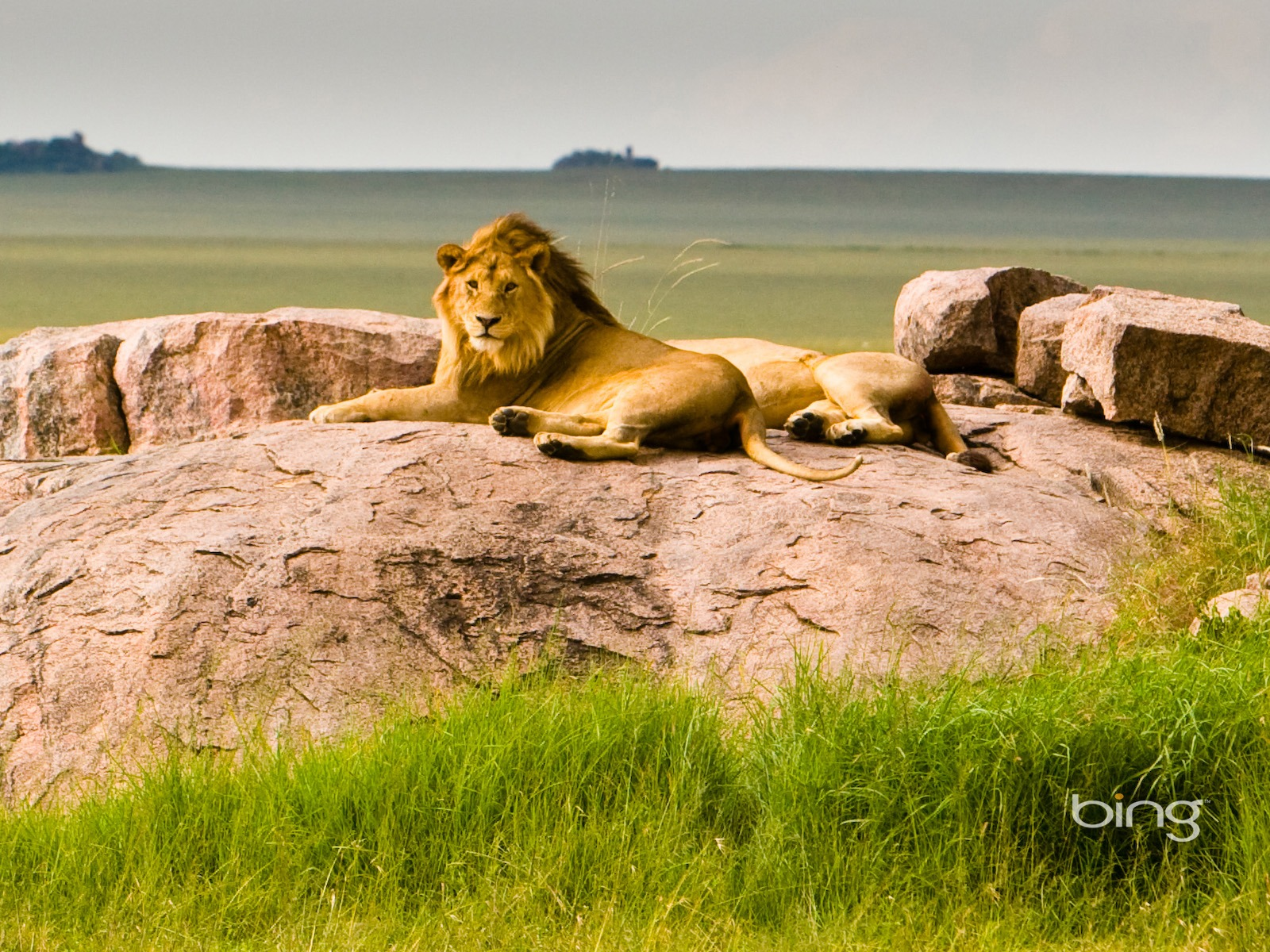 Description: Tanzania Serengeti National Park Lions-Bing Wallpaper ...: 10wallpaper.com/down/tanzania_serengeti_national_park_lions-bing...