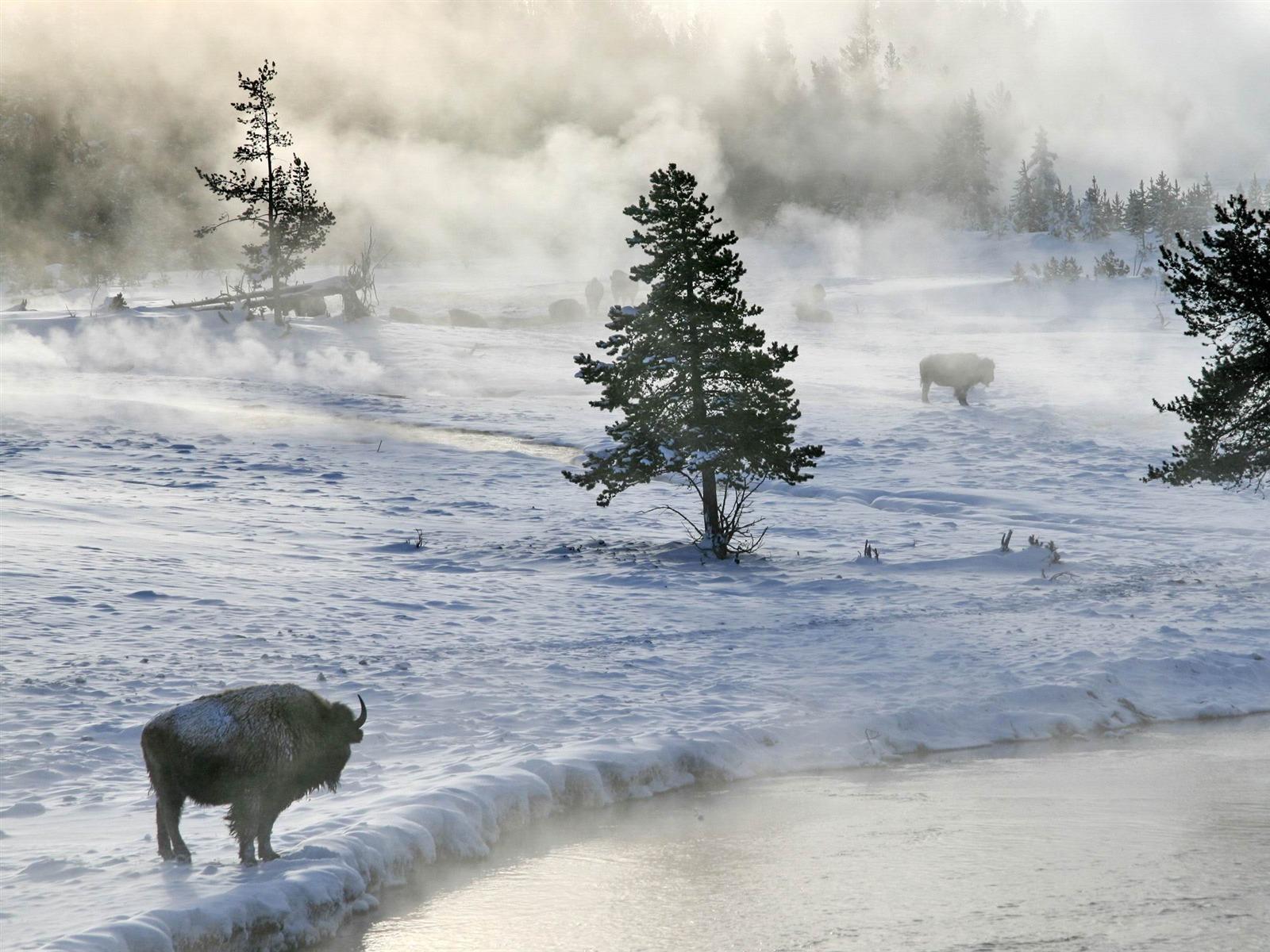 bison en hiver bureau paysage d 39 hiver fond d 39 cran 1600x1200 t l chargement. Black Bedroom Furniture Sets. Home Design Ideas
