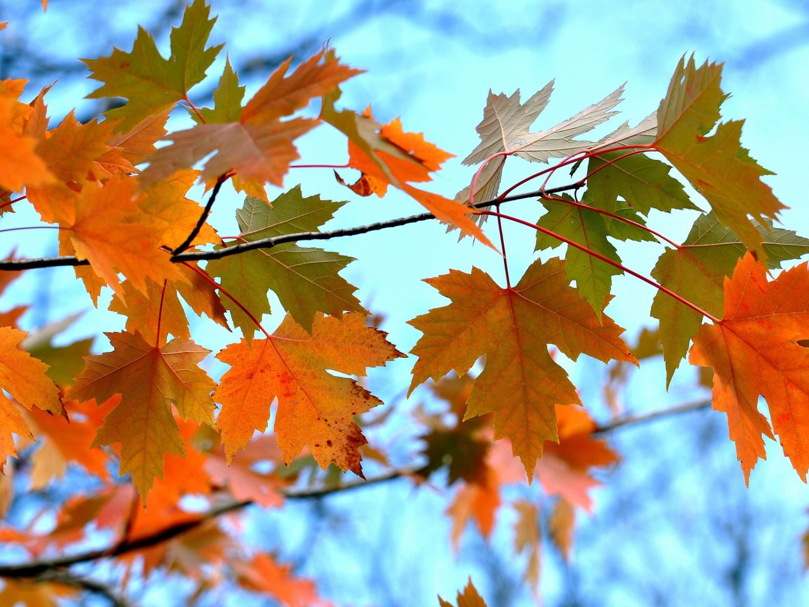 Maple Leaves Branches-High Quality HD Wallpaper - 1600x1200 wallpaper download