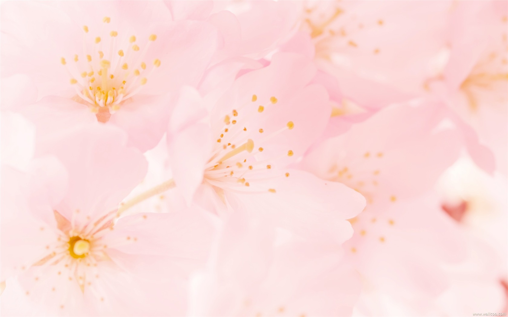 of blooming cherry blossoms wallpaper preview