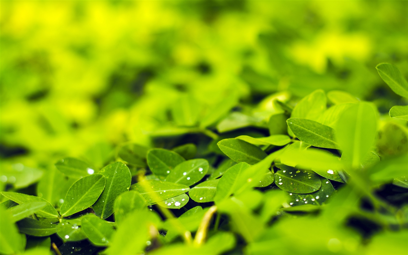 Spring fresh green leaves water droplets - 1680x1050 wallpaper download