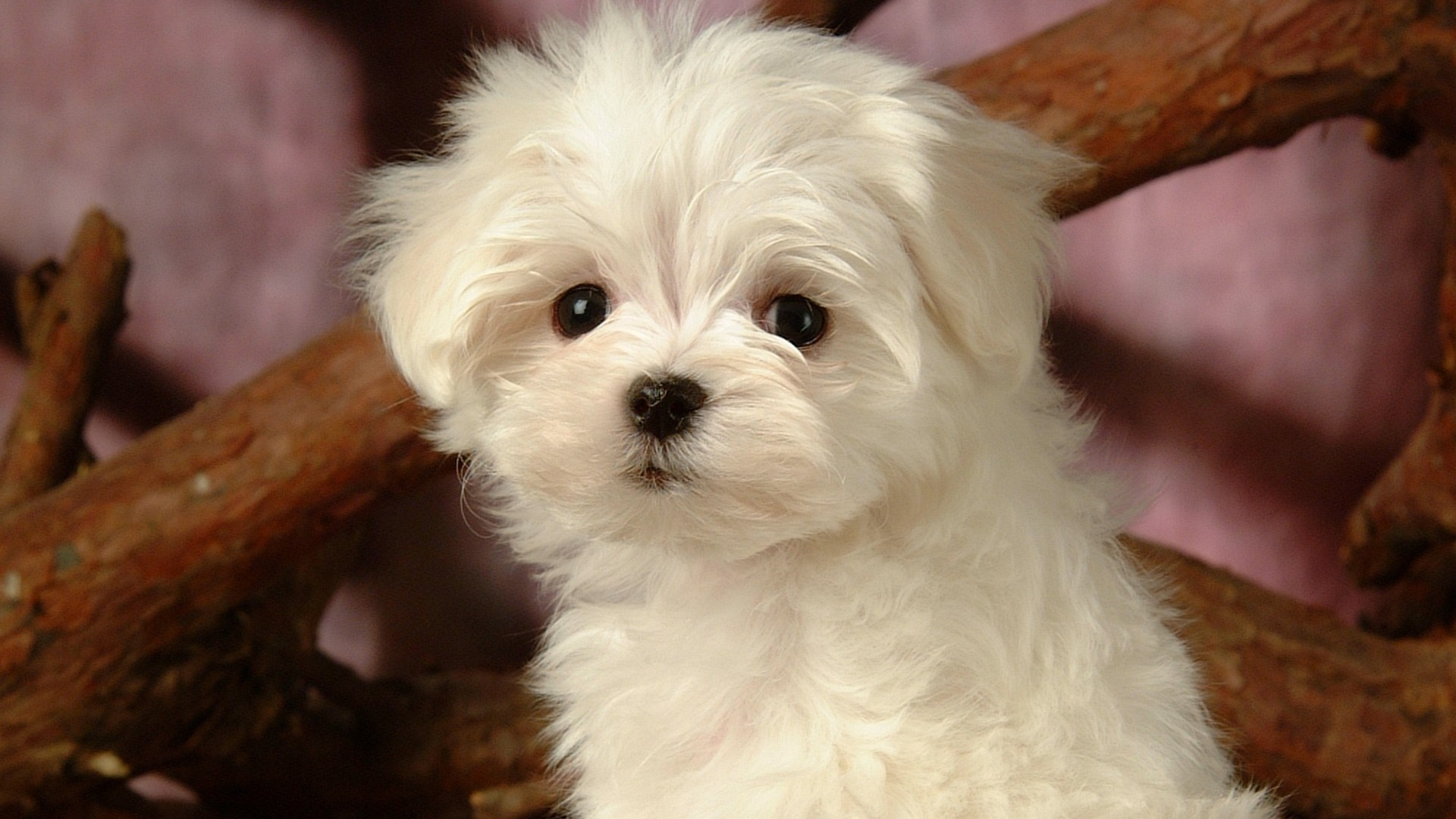 Fluffy Puppies Related Keywords & Suggestions - Fluffy Puppies Long ...