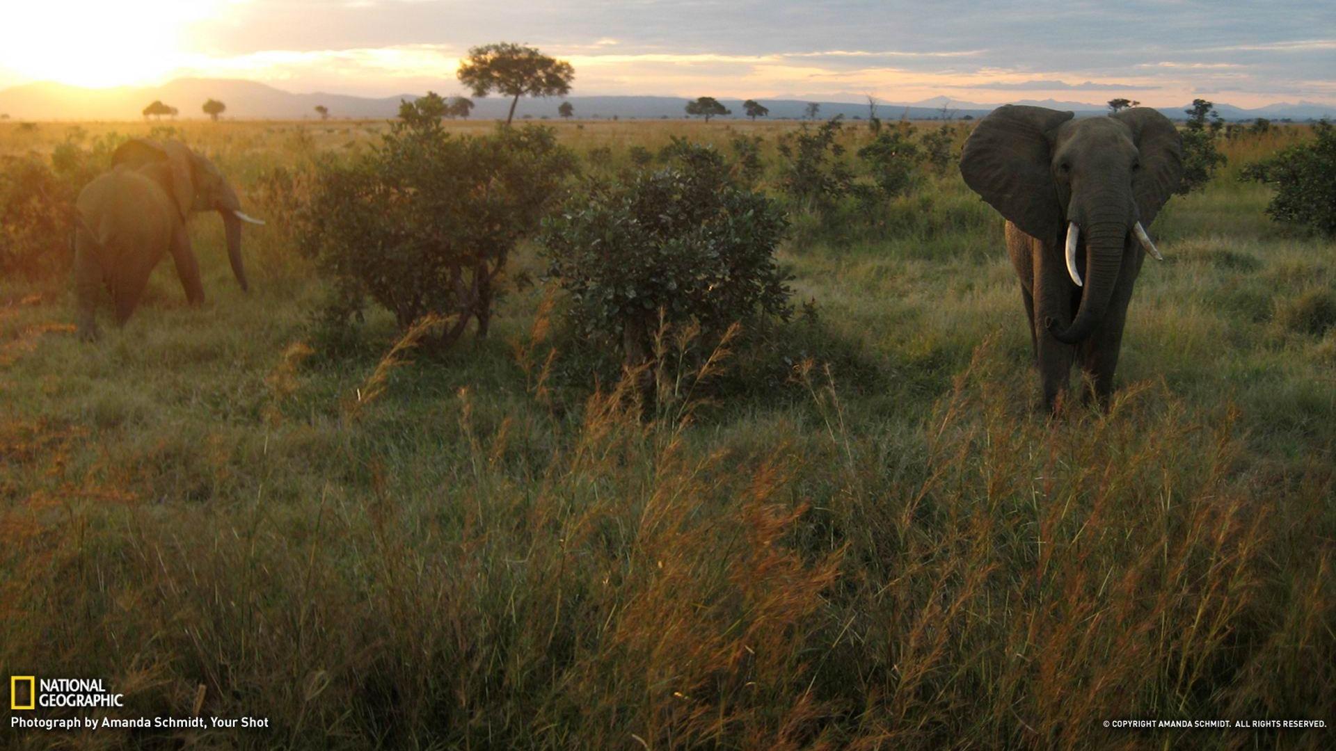 Elephants_Tanzania-National_Geographic_wallpapers_1920x1080.jpg