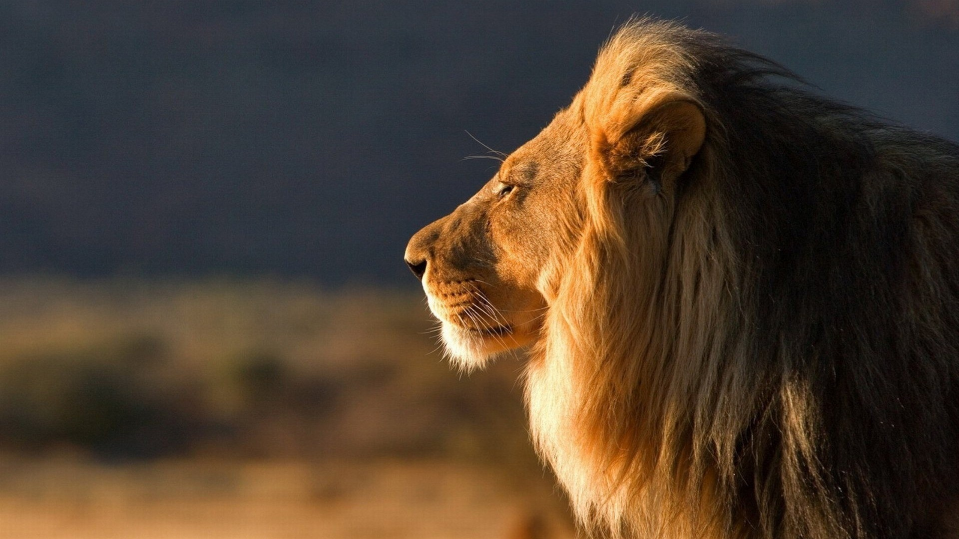 狮子特写-动物高清图片壁纸 - 1920x1080 壁纸 下载