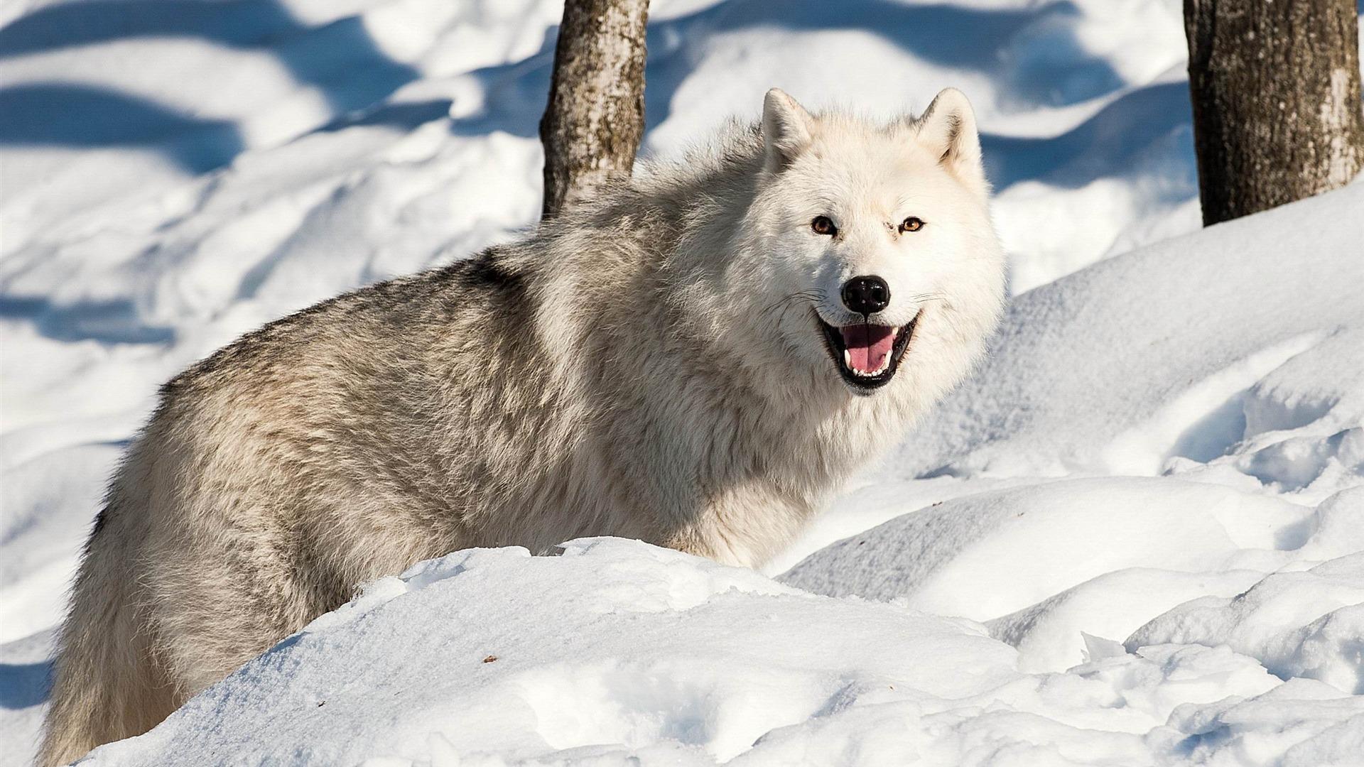 Chien loup neige de l 39 hiver animaux hd fonds d 39 cran for Fond ecran hiver animaux