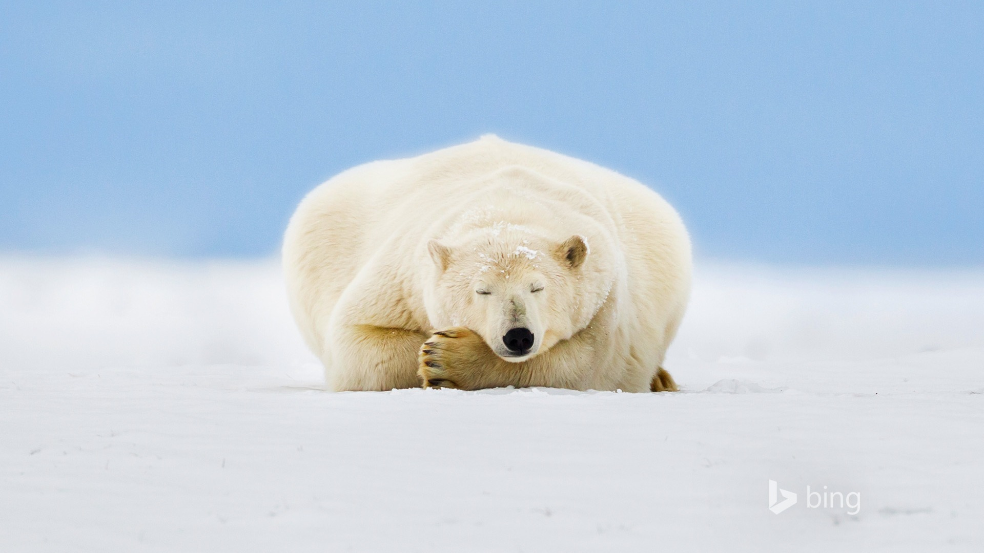 polar bear wallpaper 1920x1080