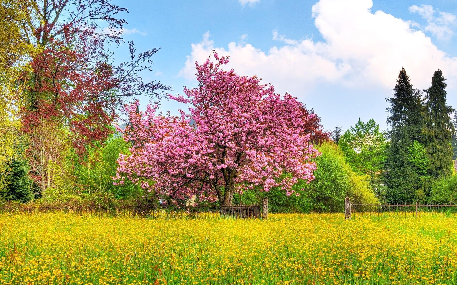 - 日本樱花树