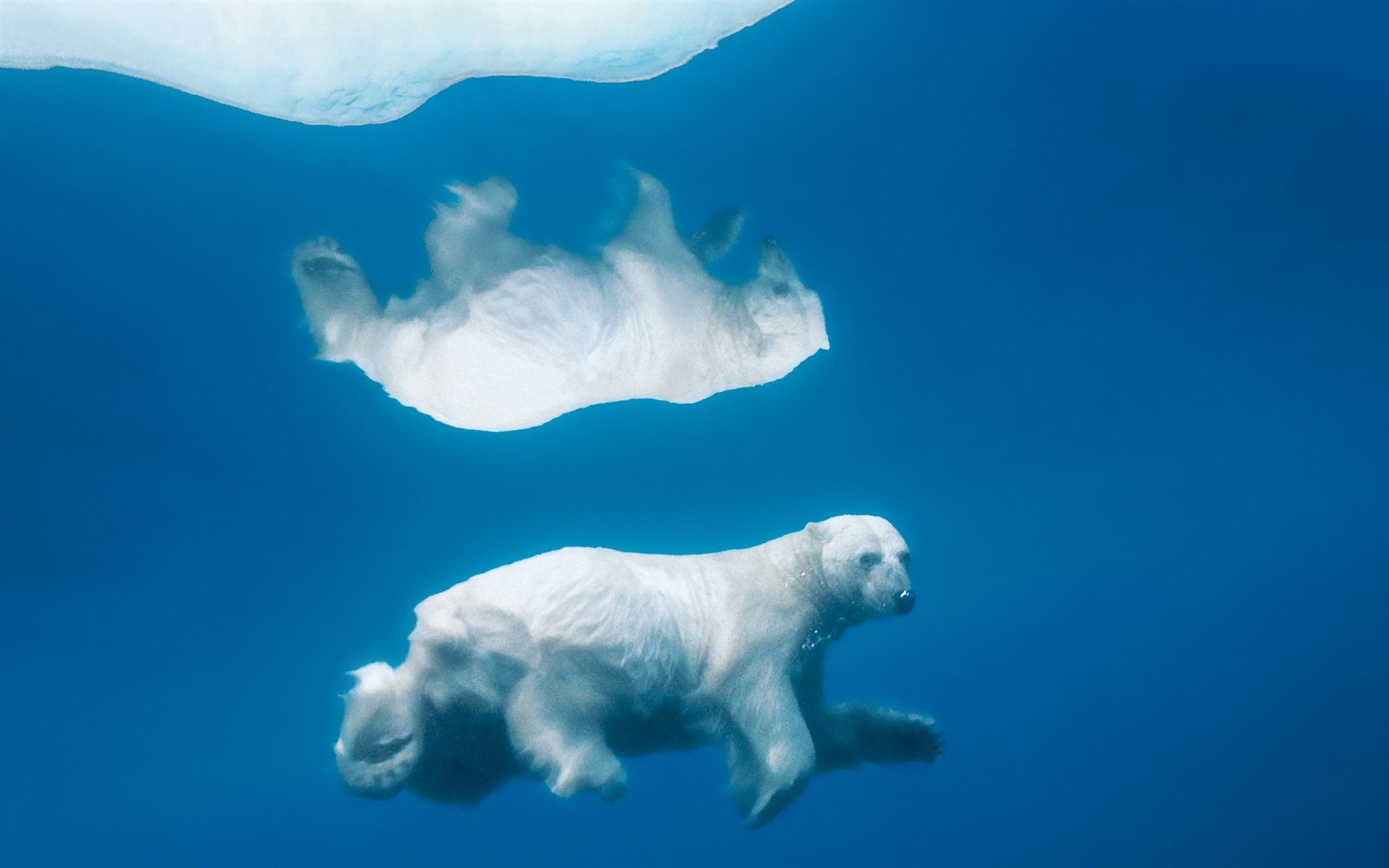 the polar bear under the icemac os x mountain lion hd