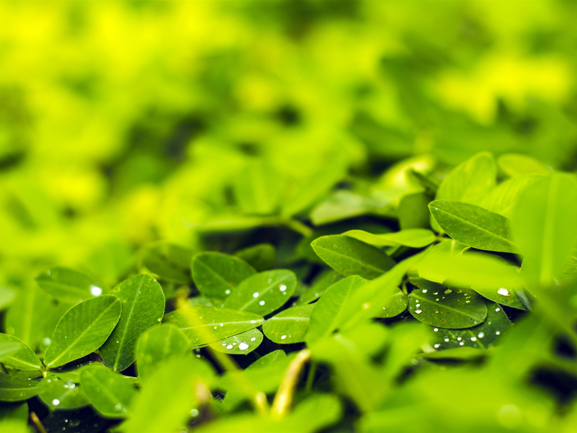 Spring fresh green leaves water droplets - 1920x1440 wallpaper download