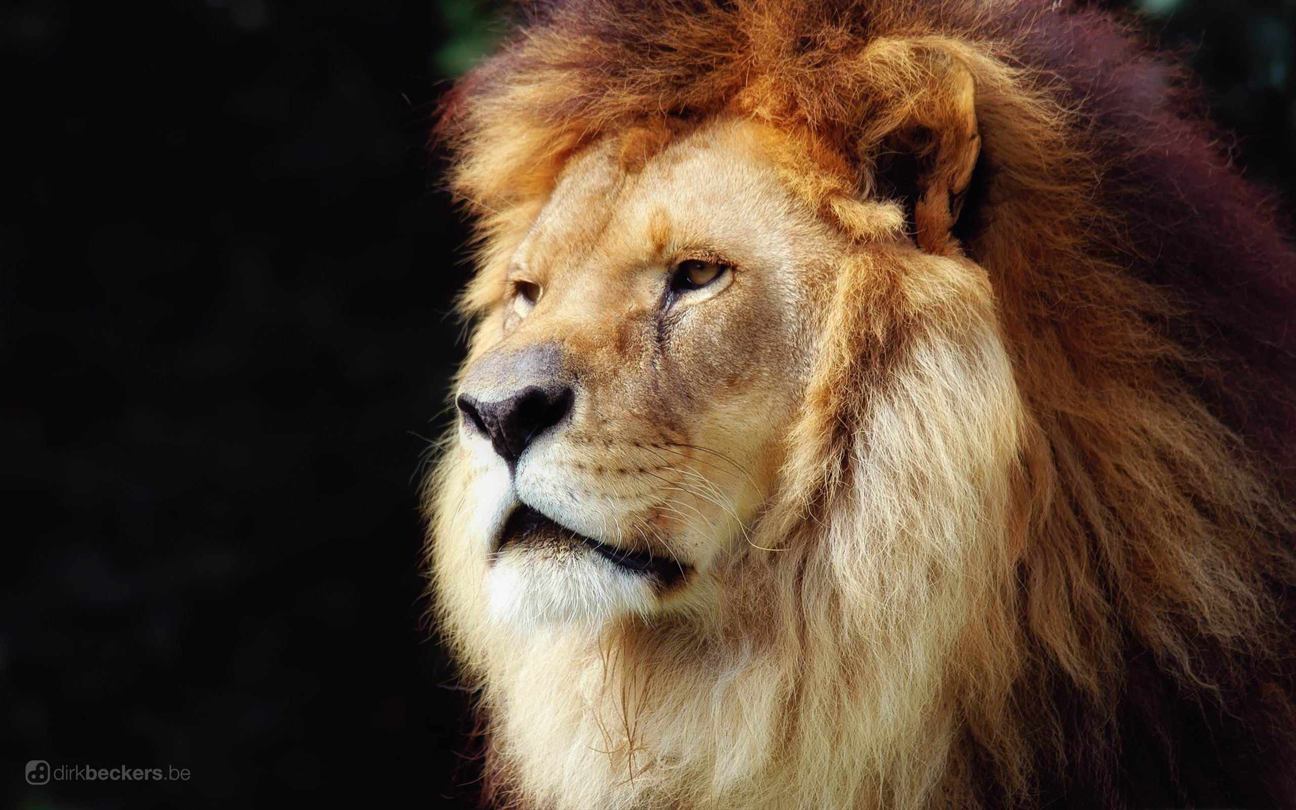 lion-wild animal desktop wallpaper - 2560x1600 wallpaper download -