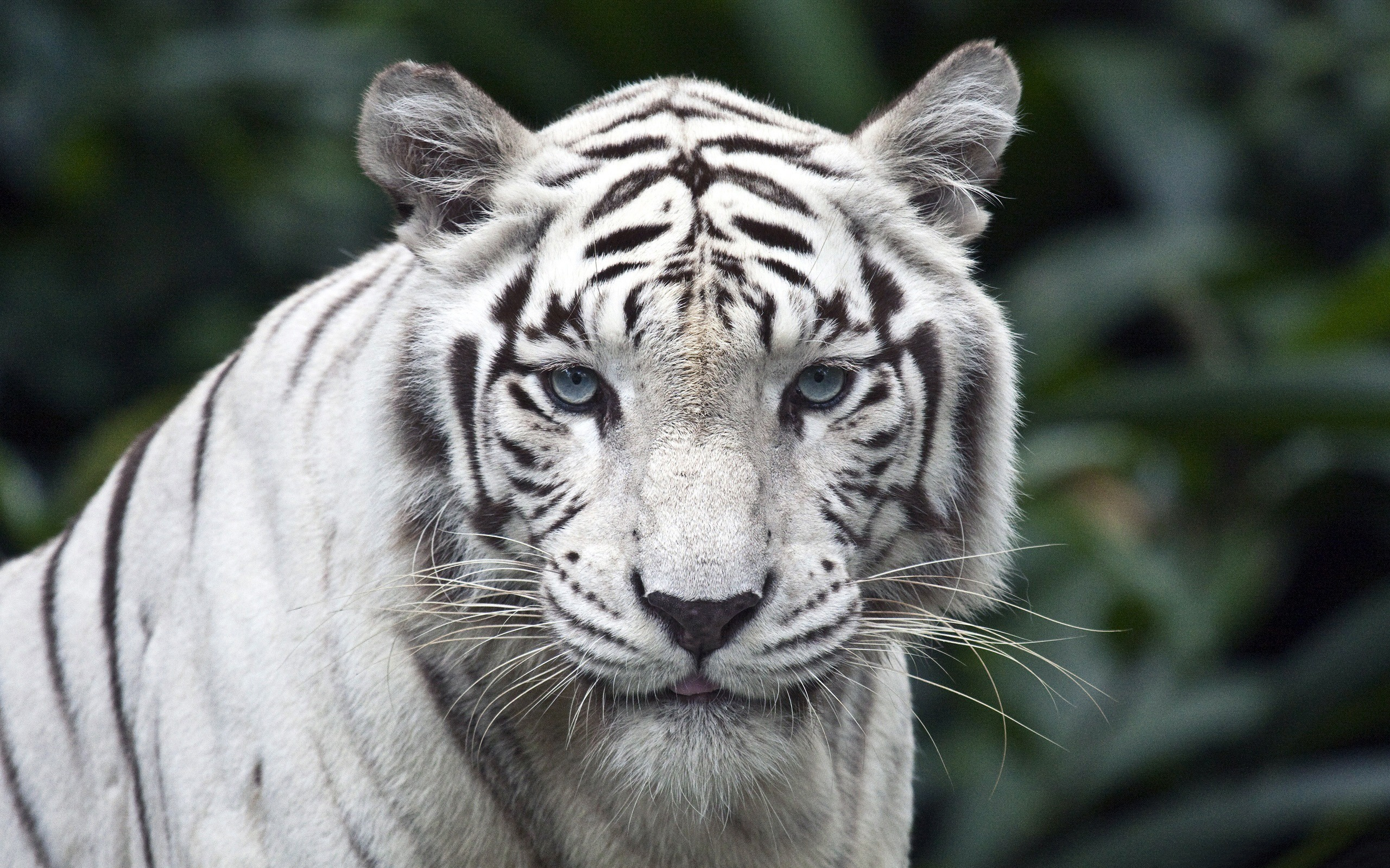 美丽的白老虎-野生动物高清壁纸 - 2560x1600 壁纸 下载
