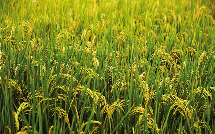 Chianan plain rice Wallpaper Views:13509