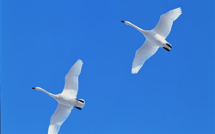 Flying the blue sky white swans wallpaper Views:8999