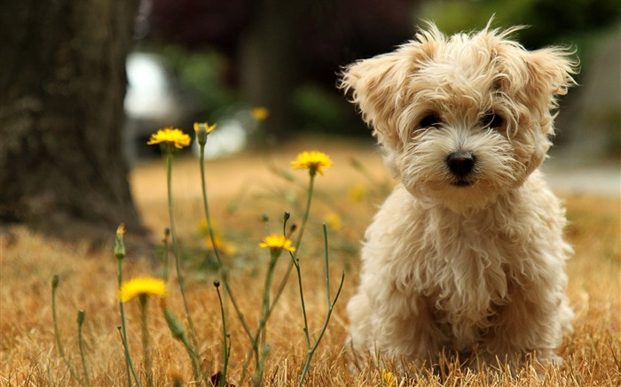 Toy Poodle Cici Wallpapers Views:68985