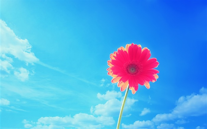 blue sky against the background of Gerbera Wallpaper Views:37380