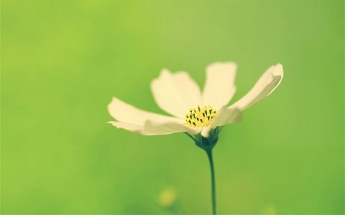 fresh cosmos wallpaper Views:7794