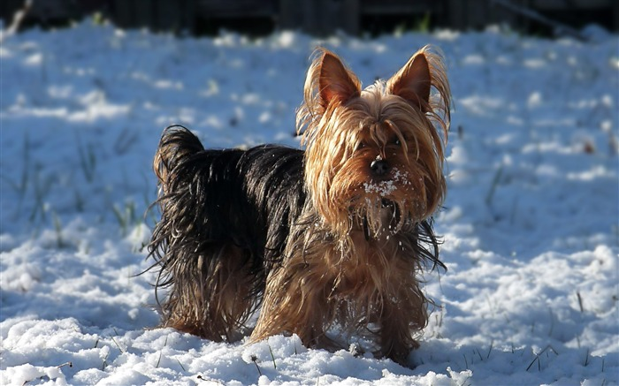 the snow on the Yorkshire Terrier Jack-Jack Wallpaper Views:13124