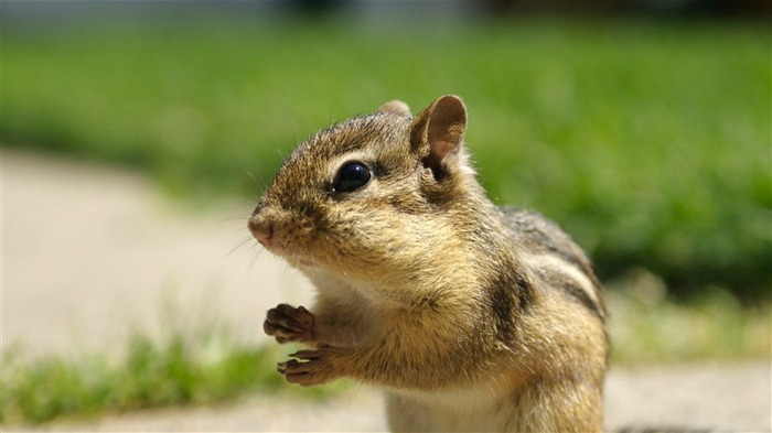Backyard Chipmunk - Adorable Chipmunk Wallpapers Views:15483