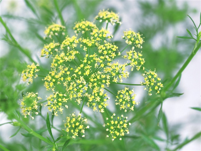 Dill - aromatic herb pictures Views:5058