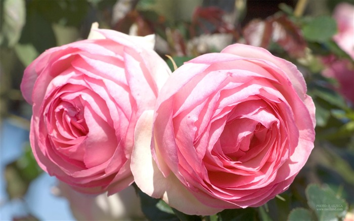 France Meilland Rose Ang Mei Wallpapers 11 Views:6240