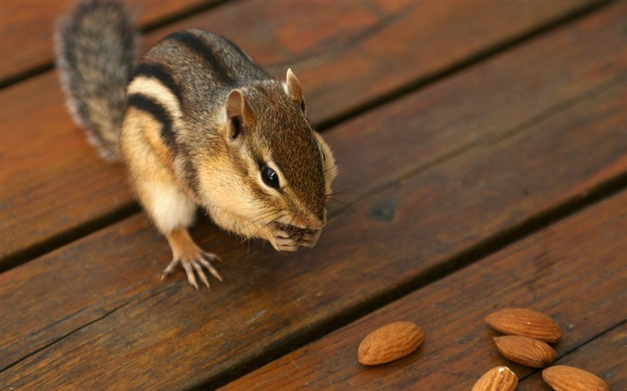 Greedy chipmunk eating almond - chipmunk pictures1 Views:4772