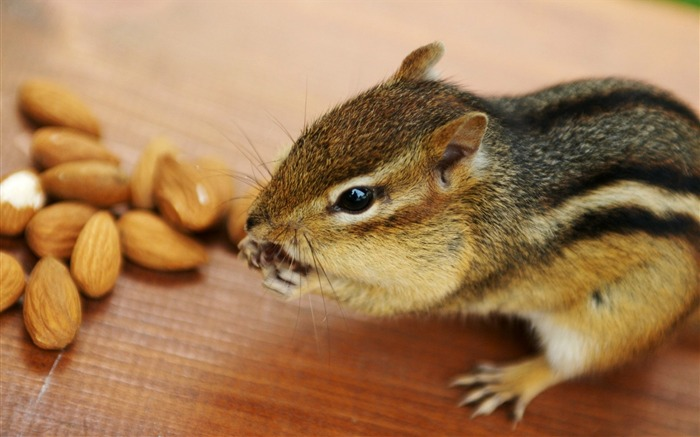 Greedy chipmunk eating almond - chipmunk pictures2 Views:4801